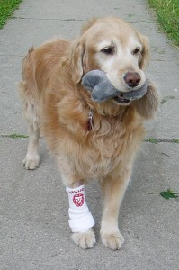 A yellow lab with a toy bone in its mouth - good dog!