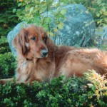 Golden dog in the forest named Forest