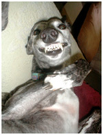 Greyhound showing teeth in a grimace (funny)