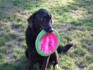 Black dog with frisbee